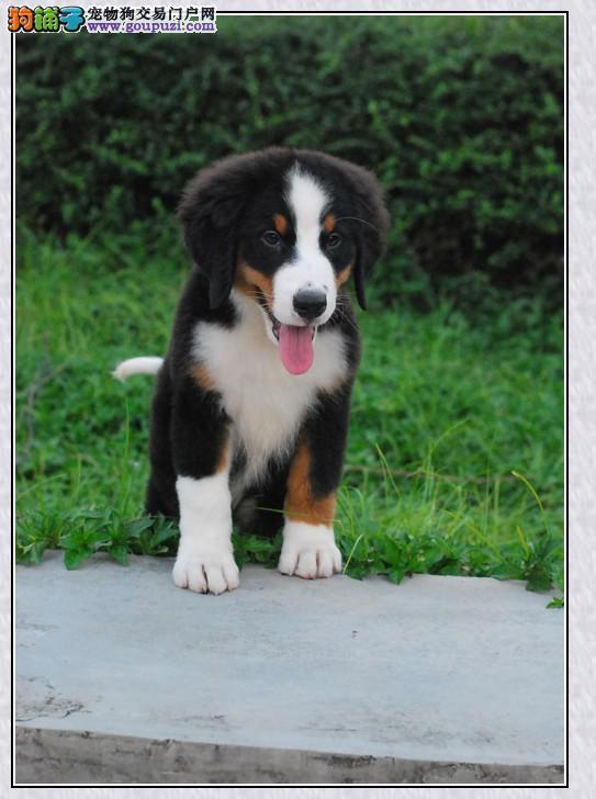 出售正宗血统优秀的伯恩山微信选狗直接视频