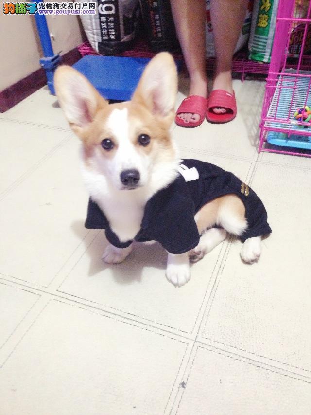 庆阳知名犬舍出售多只赛级柯基微信咨询看狗狗照片