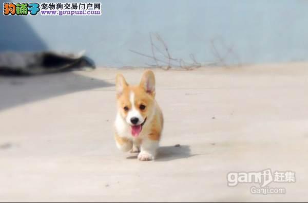 纯种柯基幼犬、保证血统纯度、诚信经营保障