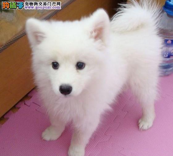 精品银狐犬幼犬 CKU国际认证 血统纯正 终身质保