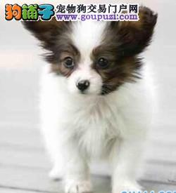 出售纯种健康的蝴蝶犬幼犬血统证书芯片齐全