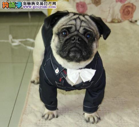 出售白山巴哥犬专业缔造完美品质专业繁殖中心值得信赖