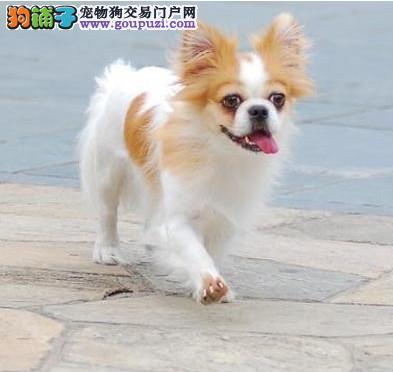 可爱的蝴蝶犬幼犬宝宝出售啦