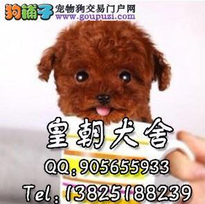 广州哪里有卖贵宾幼犬 广州哪里有卖贵宾犬