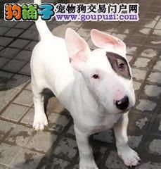 广州哪里有牛头梗 牛头梗多少 牛头梗图片牛头梗好养吗
