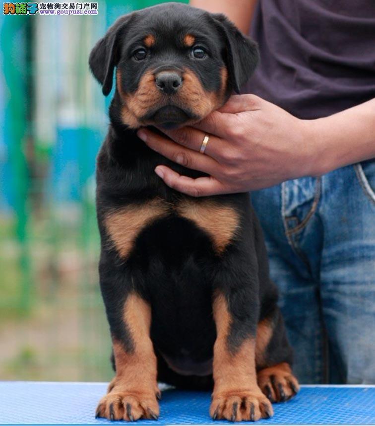 成都出售罗威纳幼犬品质好有保障保终身送用品