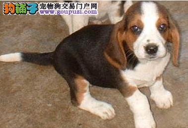 出售正宗血统优秀的西安比格犬微信视频看狗