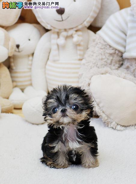 知名犬舍出售多只赛级约克夏品质保障可全国送货