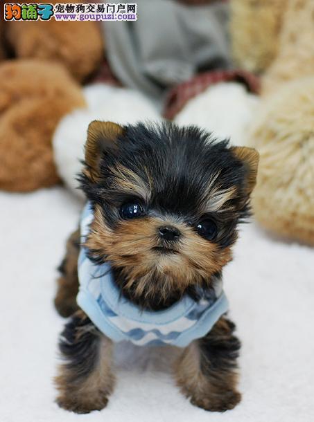 《品质放首位 追求完美》══《5窝约克夏幼犬待售》