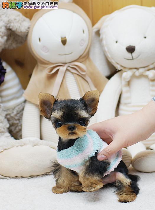 出售极品约克夏幼犬完美品相同城免费送货上门