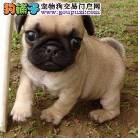 买纯种 憨厚的巴哥犬  三年联保签协议 赠狗狗户口