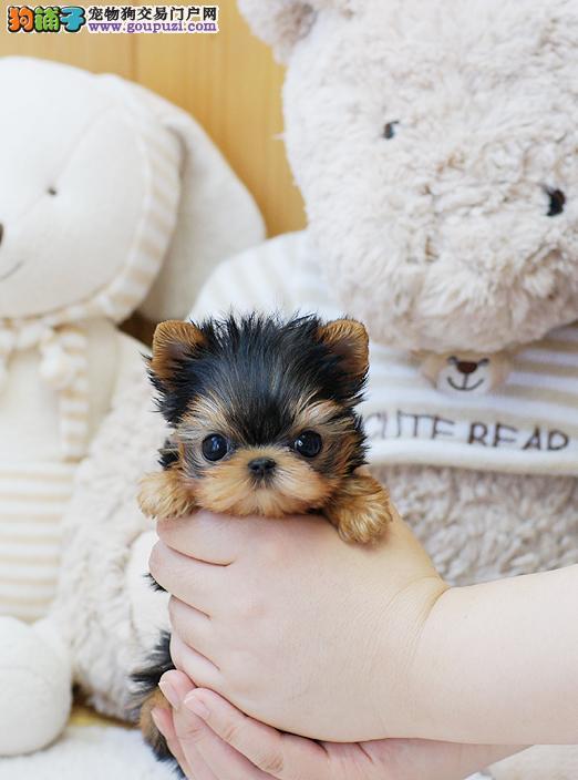金头银背约克夏2到4个月幼犬,终身保证质量