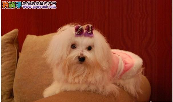 出售纯种的漂亮的马尔济斯幼犬喜欢的联系