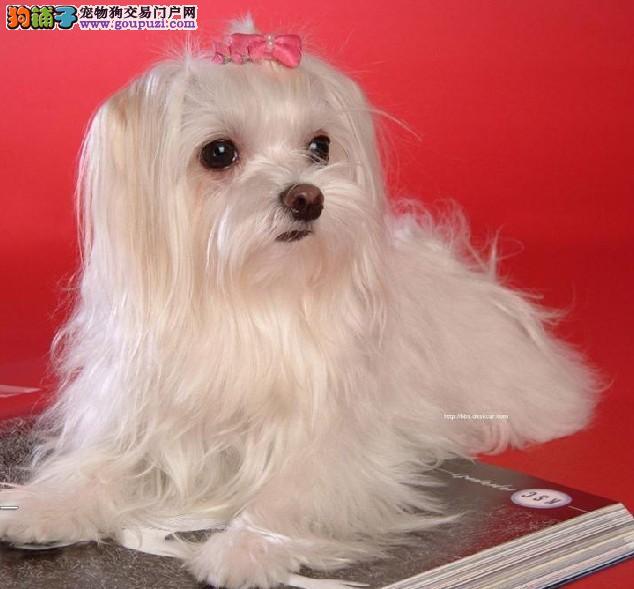 贵族气质 纯种白色马尔济斯伴侣犬宝宝出售