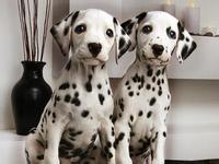 出售大麦町 斑点犬 纯种保健康欢迎上门挑 狗狗包邮