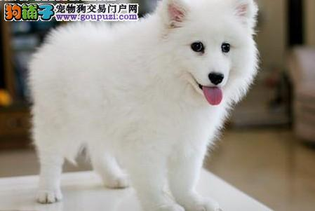出售纯种银狐幼犬 品相极佳包健康.纯正血统健康活泼