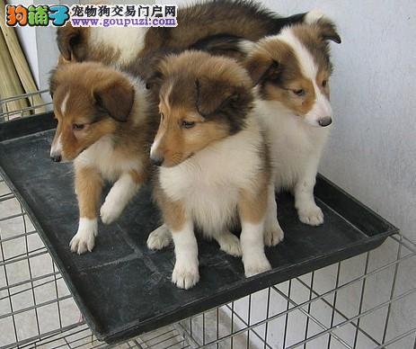 纯种喜乐蒂 纯种喜乐蒂幼犬 精品喜乐蒂幼犬