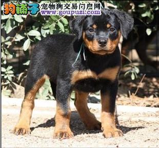 出售一窝罗威纳幼犬2公4母