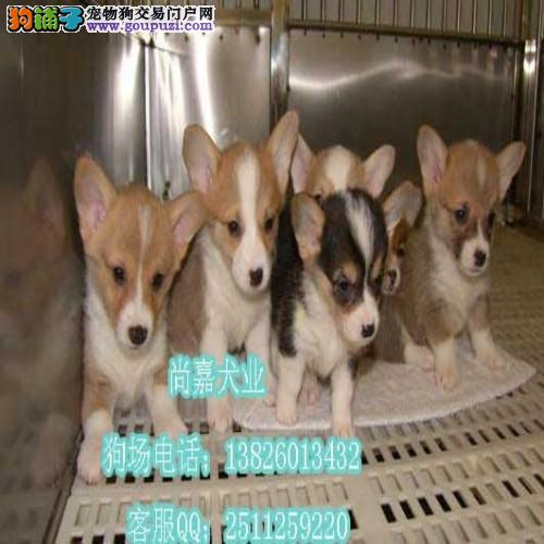 惠州哪里有卖纯种柯基幼犬 柯基幼犬多少钱一只
