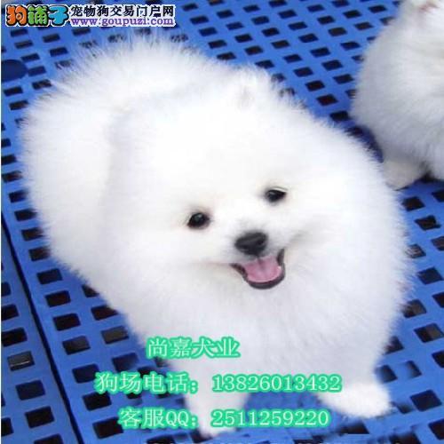 惠州哪里有卖博美惠州松鼠狗多少钱