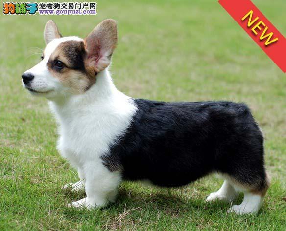 热销多只优秀的保定纯种柯基幼犬国际血统认证