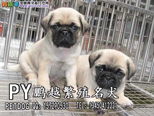 广州/广州什么地方有卖巴哥广州哪里有卖八哥[三个月公母全有]