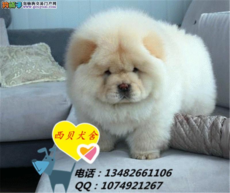 上海CKU犬舍 专业繁殖大嘴极品松狮 签订协议