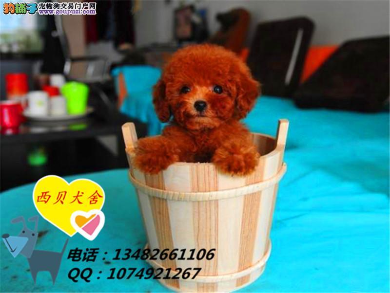上海CKU犬舍 专业繁殖茶杯玩具泰迪签协议
