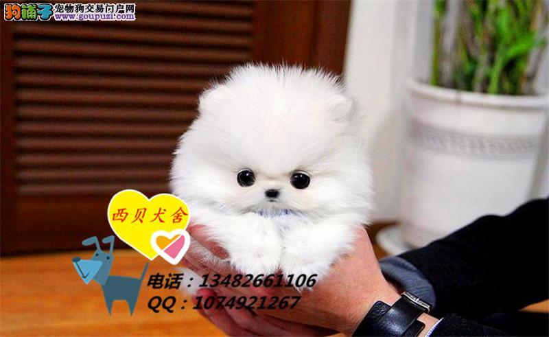 上海CKU犬舍 专业繁殖球哈多利博美 签订协议保证健康