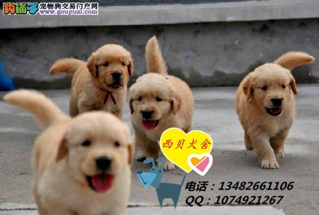 上海CKU犬舍 专业繁殖赛级金毛 保证纯种健康 送用品
