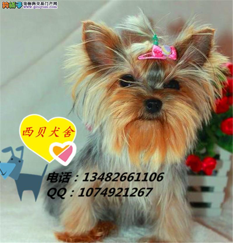 上海CKU犬舍 专业繁殖j精品约克夏 实图 签订协议