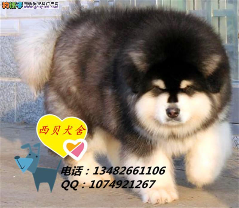 上海CKU犬舍 专业繁殖阿拉斯加 签订协议 送用品