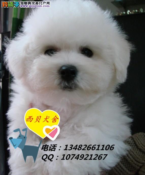 上海CKU犬舍 专业繁殖极品比熊 保证纯种 送用品