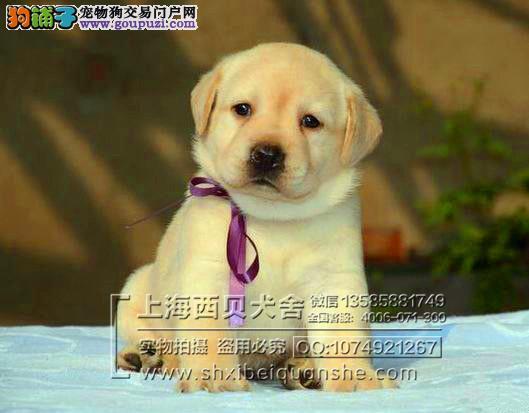 品牌犬舍 专业繁殖赛级拉布拉多 签订协议 送用品