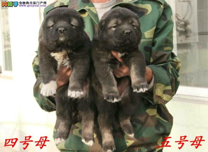 精品繁育 专业训导 猛犬也温柔签定质保可刷卡