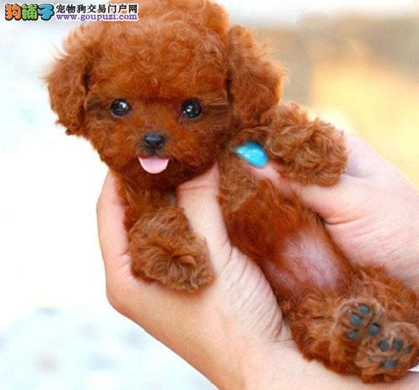 北京正规犬舍百条纯种茶杯泰迪玩具泰迪贵宾