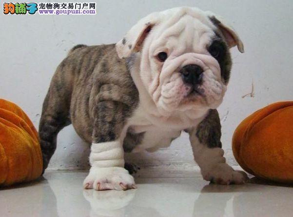 自家犬舍热销顶级可爱广州斗牛犬 欢迎来犬舍购买