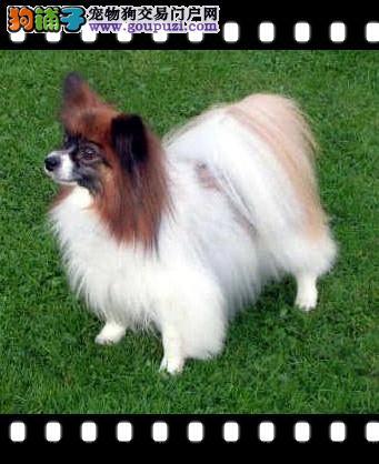 CKU犬舍认证出售纯种蝴蝶犬品质保障可全国送货