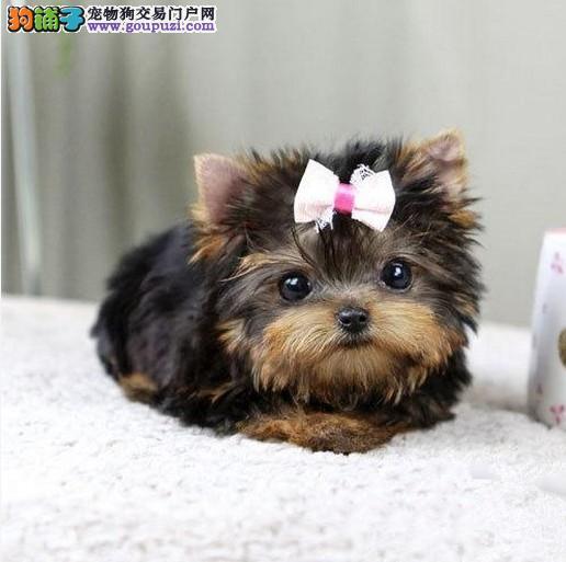 出售家养纯种约克夏幼犬