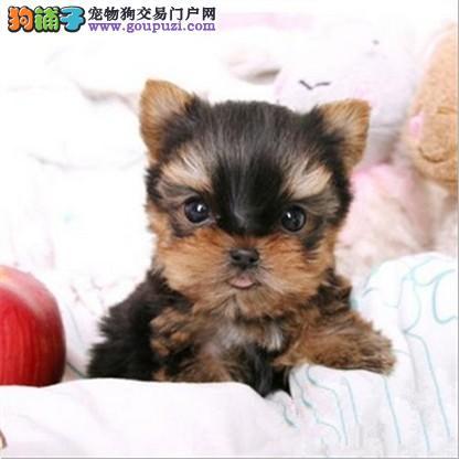 深圳什么地方卖纯种贵妇犬约克夏 约克夏价格是多少