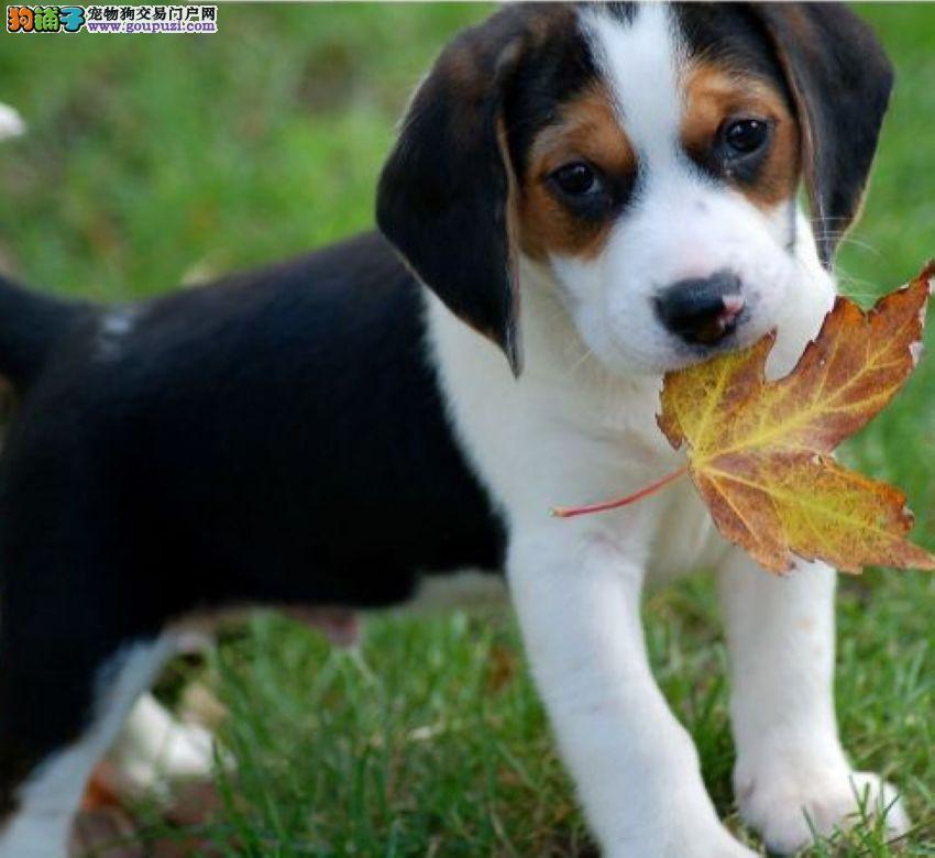 出售米格鲁幼犬公母都有可上门挑选。
