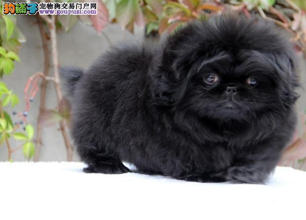 上海哪里有卖京巴犬的 纯种京巴幼犬好多钱一只