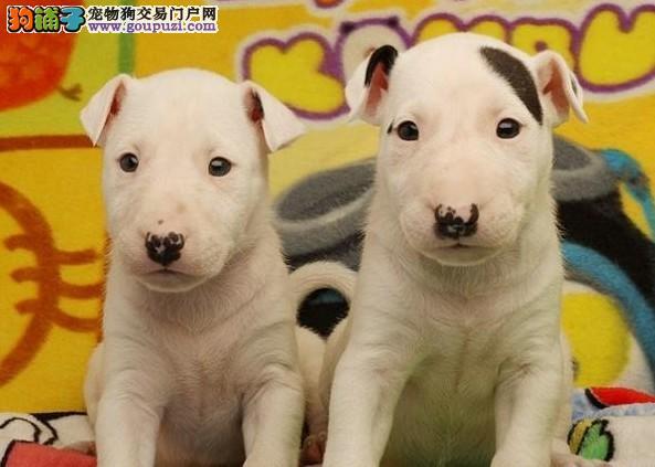 犬舍直销纯种牛头梗宝宝——希望能够找到喜欢他的主人