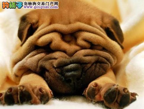 沙皮狗带血统出售中 终身质保 质量三包 可签协议