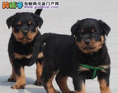 CKU犬舍认证北京出售纯种罗威纳可签合同刷卡