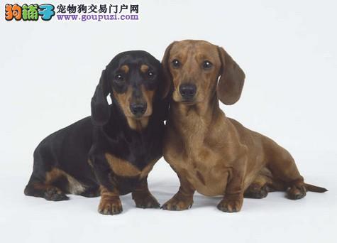 出售纯种腊肠幼犬,品相非常漂亮,毛量很足