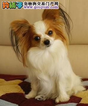 纯血统蝴蝶犬幼犬,低价热销保健康,签订正规合同
