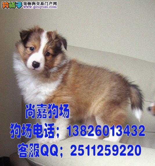 江门在哪里能买到纯种苏牧 江门苏牧犬价格