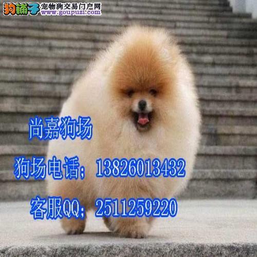 江门哪里有卖纯种博美犬 出售纯种哈多利球体博美