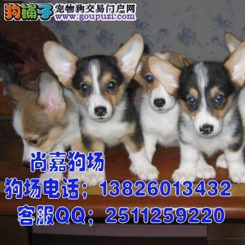 江门哪里有卖柯基犬 出售二色三色纯种柯基小狗